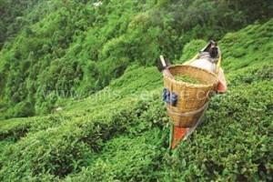 blossoming tea manufacturer